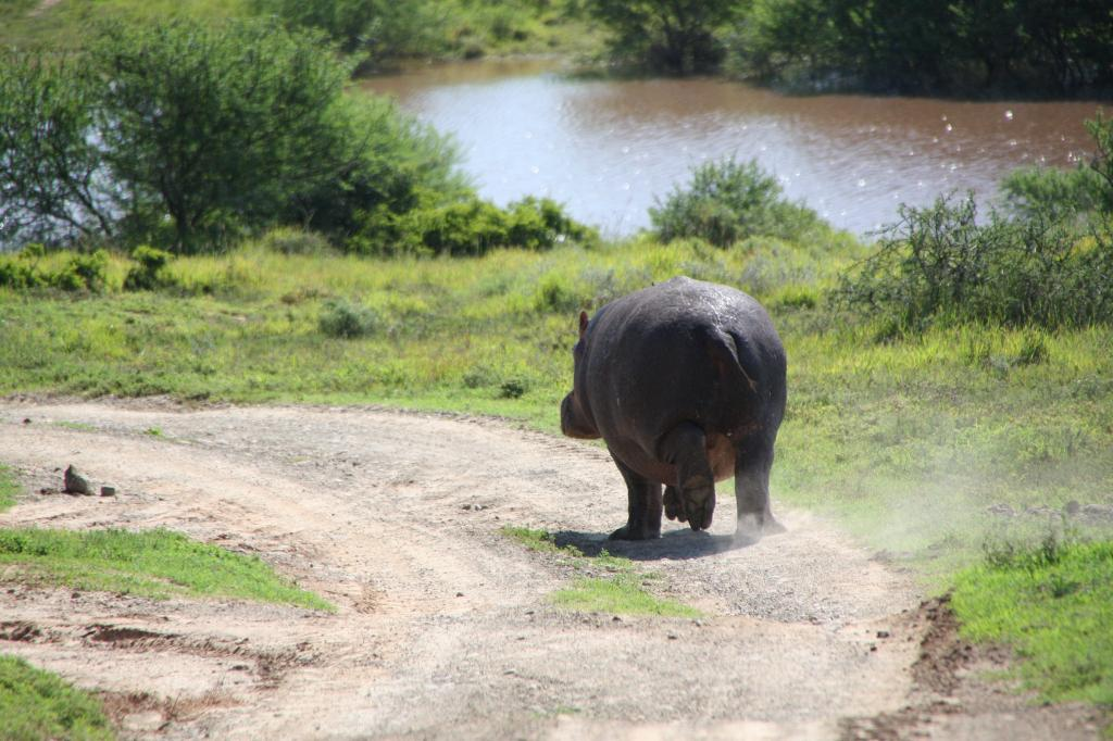 Zambia had decided to go for controlled slaughter of up to 2,000 hippos over the next five years  Credit: Steve Elliott /Flicker