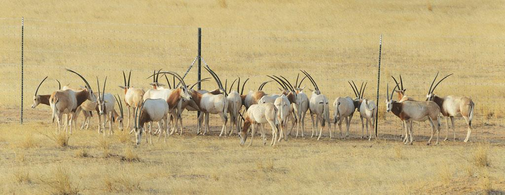 Twenty-five scimitar-horned