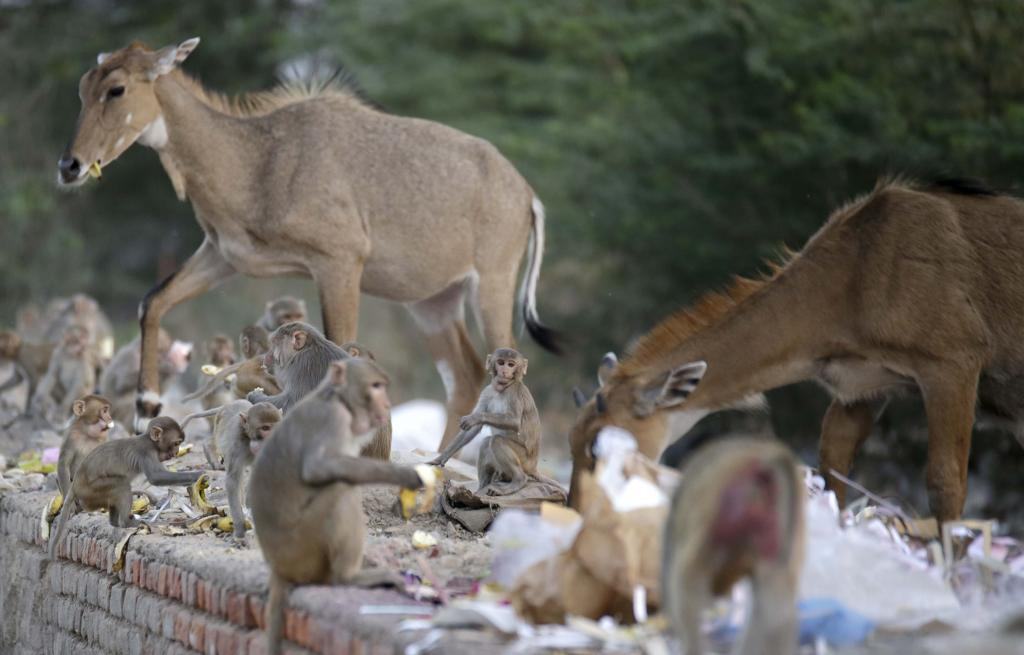 The court issued a caveat saying that the wild animals can be culled only if they enter human habitations and not in the forests (Photo: Vikas Choudhary)