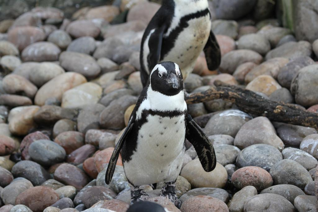Conservationists are distressed at the death of penguins in Stony Point Credit: Mark Kent / Flicker