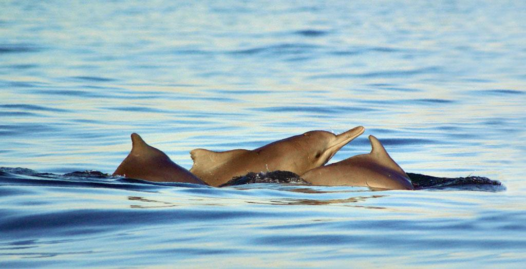 India has 30, and Goa has three. They are the Indo-Pacific finles porpoise, the longbeaked common dolphin and the Indo-Pacific humpback dolphin (Photo: ISTOCK PHOTO)