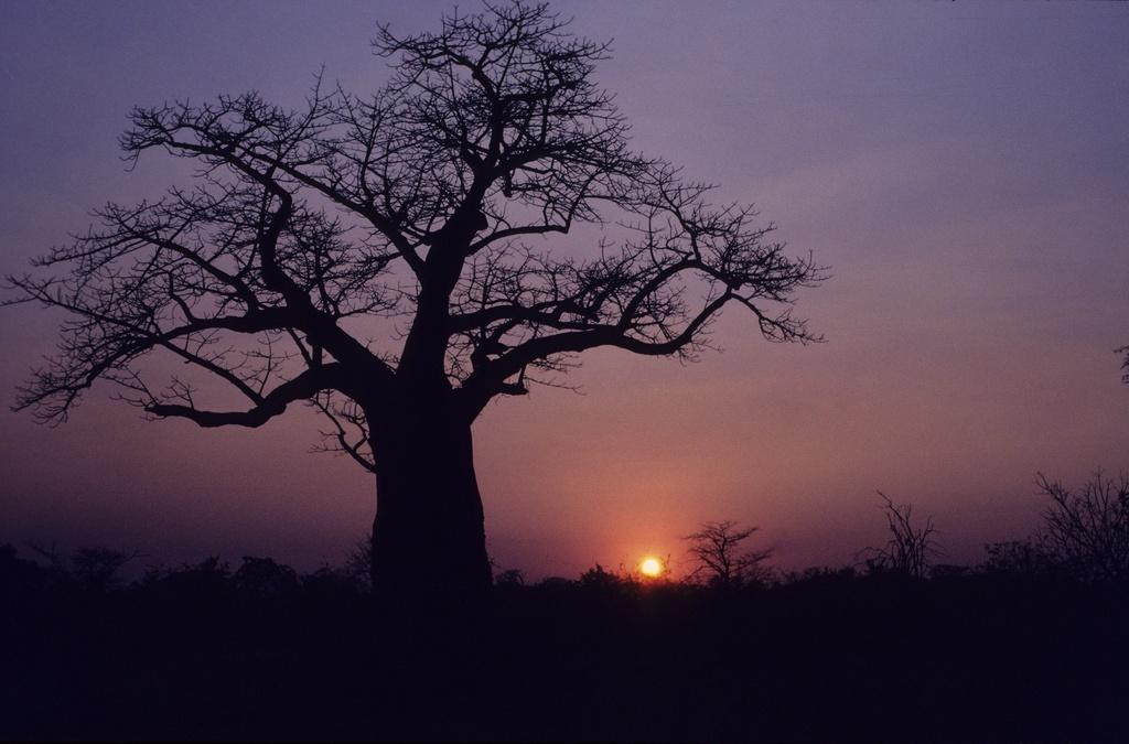 A Baobab tree silhouetted against the setting sun in Botswana Credit: Flickr