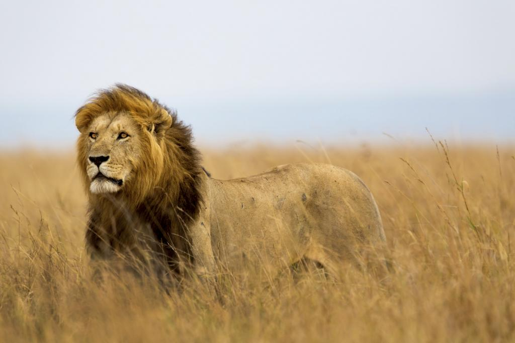 Trophy hunting by itself might be sustainable, but not when added to a background of poaching, habitat loss and retaliatory killing, writes Creel (Photo credit: iStock)