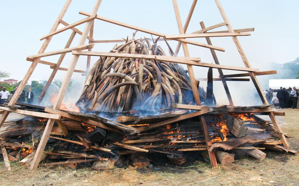 Kenya burned 105 tonnes of ivory confiscated from smugglers and poachers, an action denounced by Bostwana as wrong and wasteful (Credit: IFAW)