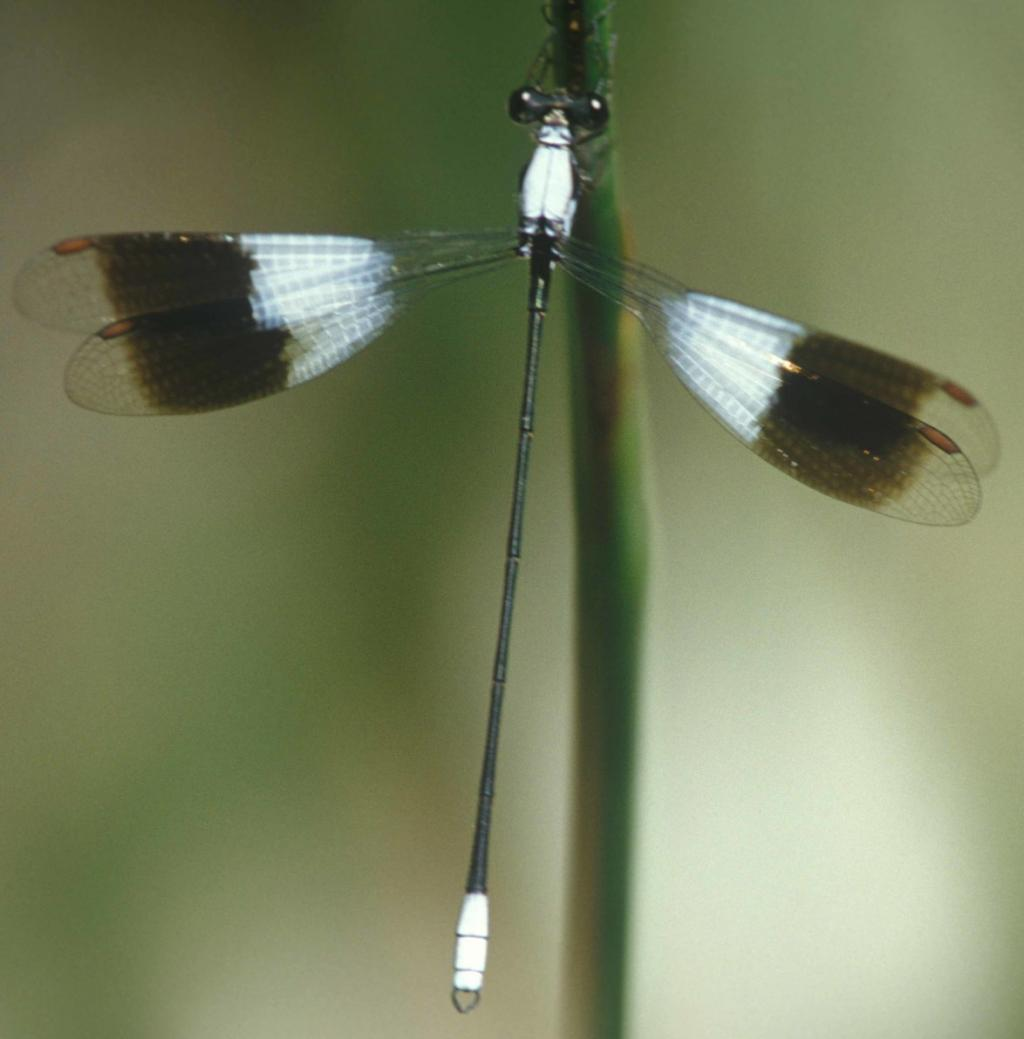 Dragonflies, like the white malachite, are excellent candidates for water assessment. (Photo credit: Michael Samways)