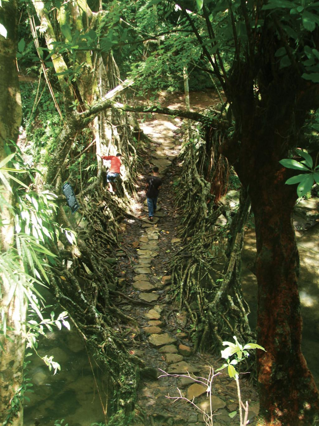 Living root bridges are critical for rural connectivity in Meghalaya