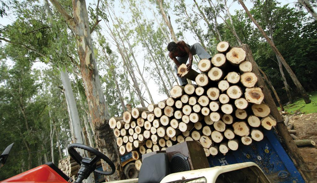 A worker unloads poplar logs at Haryana's Manakpur timber market, which is the biggest poplar market in Asia (Photo: Rakesh Nair)