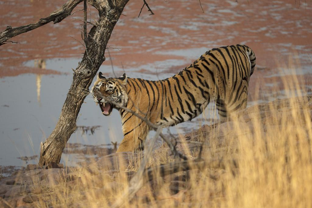 The tigress, who gave wildlife lovers a great number of stories to remember, inspired a flurry of documentaries. Credit: Rohit Varma/Flicker