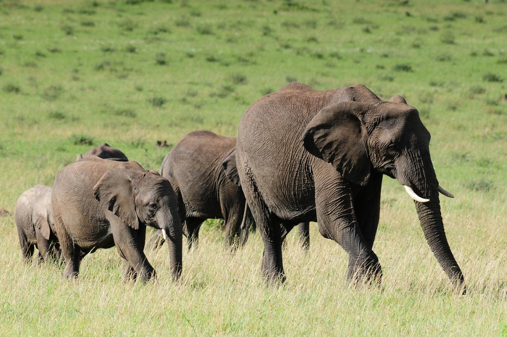 Tanzania, Mozambique, Angola and Cameroon have seen the biggest drops in elephant population. Credit: Vince Smith/Flicker