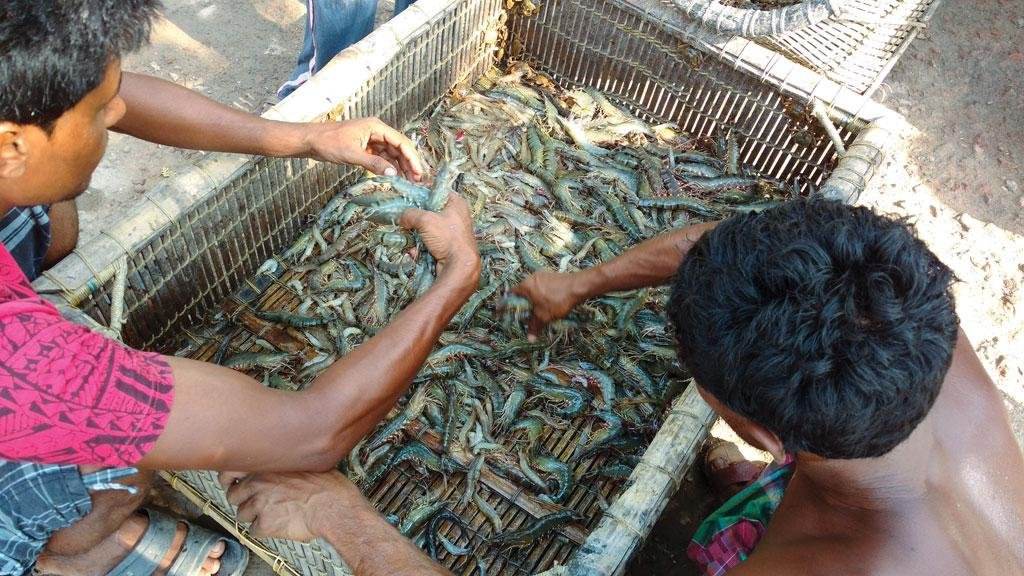 Freshly harvested shrimps at a traditional farm in North 24 Parganas