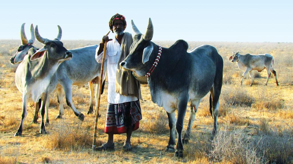 The Kankrej breed of cattle from Gujarat is valued for both milk and draught power (Courtesy: landscapes.org)