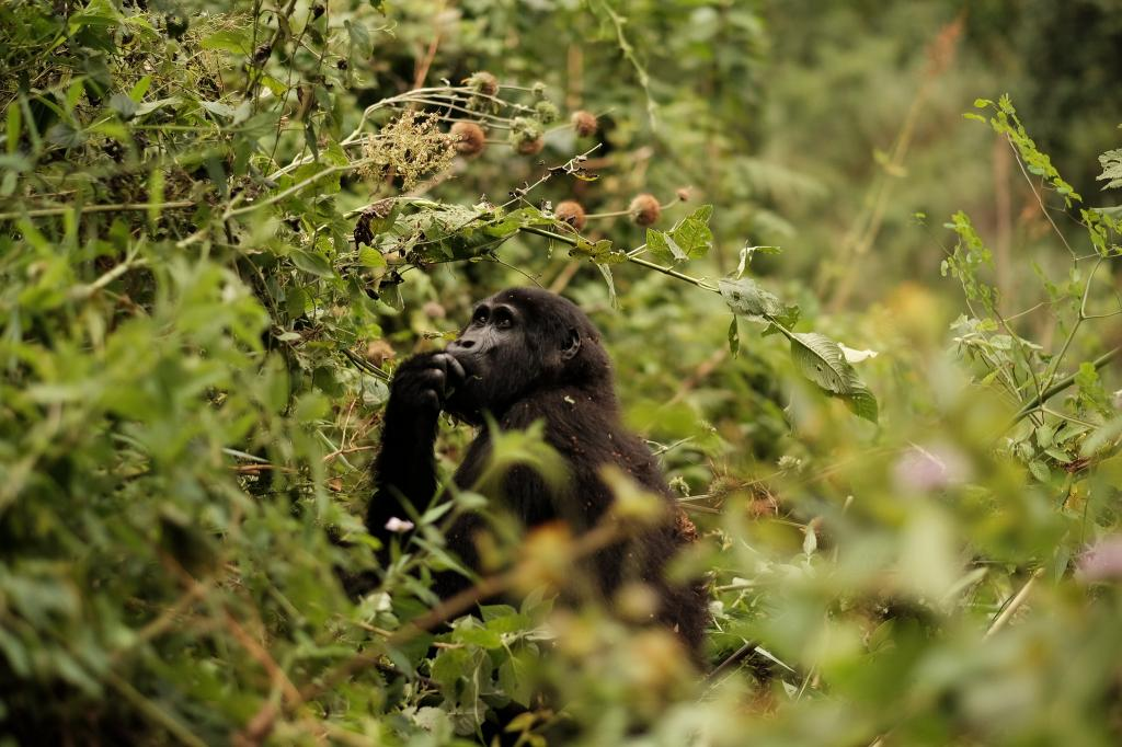 Four of the six great apes are now listed as Critically Endangered. Credit: Brian Harris/Flicker