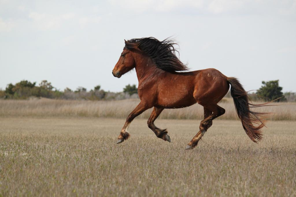 Australia has one of the largest feral horse populations on the planet, with 400,000 horses roaming the country. Credit: firelizard5/Flicker
