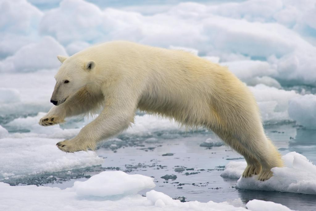 Polar bears depend on sea ice to hunt seals, their main prey (Photo courtesy: Arturo de Frias Marques, CC BY-SA 4.0, via Wikimedia Commons)
