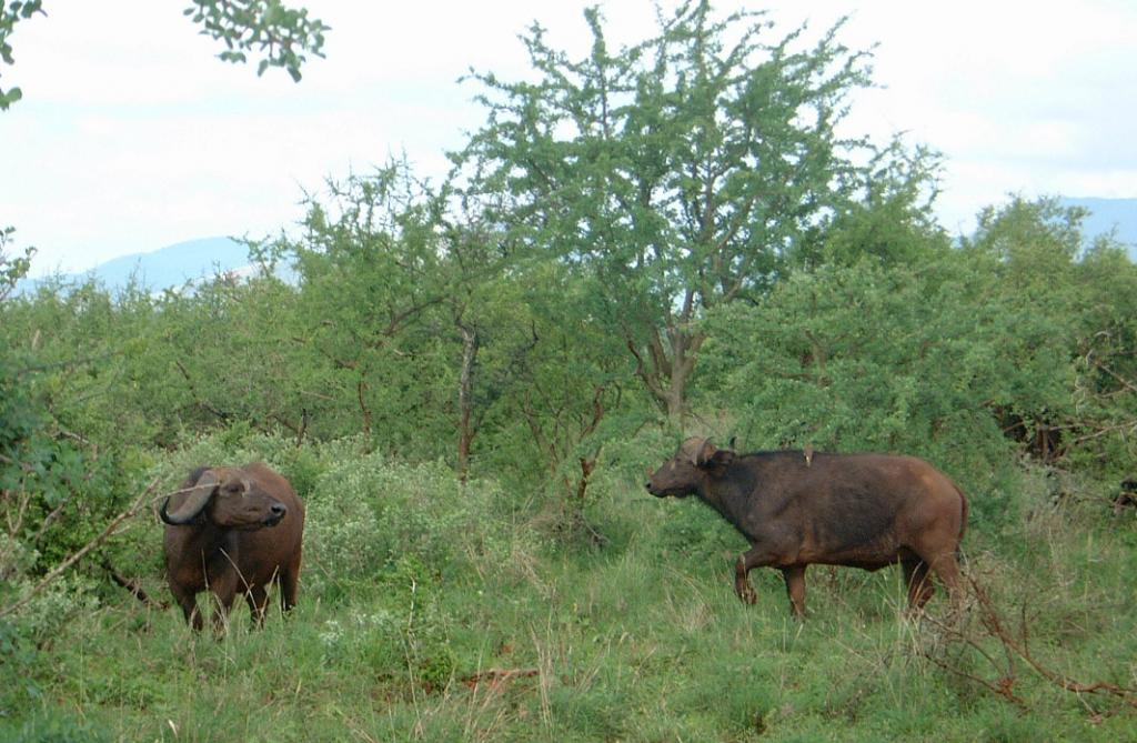 A drought in the early 1990s had also reduced Kruger's buffalo population to about 14,000. Credit: Derek Keats / Flicker