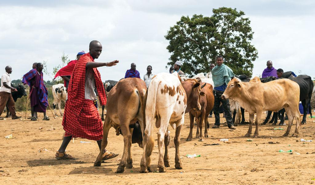 African livestock emissions could be as much as two times lower than IPCC estimates (Photo: ISTOCK PHOTOS)