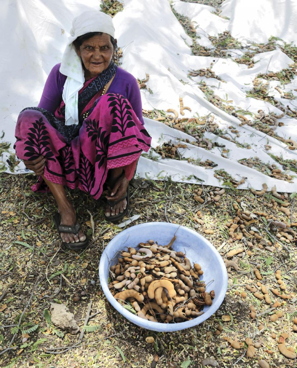 Over 90 per cent of tamarind in India is collected from forests by tribal communities (Photo: Vikas Choudhary)