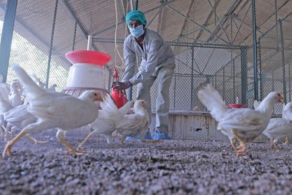 Antibiotics are routinely used for non-therapeutic purposes such as growth promotion or mass disease prevention in poultry, pig and fish farms (Photo: Vikas Choudhary)