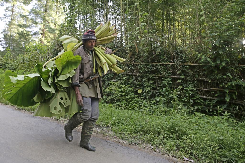 A man walks past a demarcated pine forest with a bunch of Colocasia leaves, which serves as pig feed. The roots are relished by the people. Credit: Vikas Choudhary