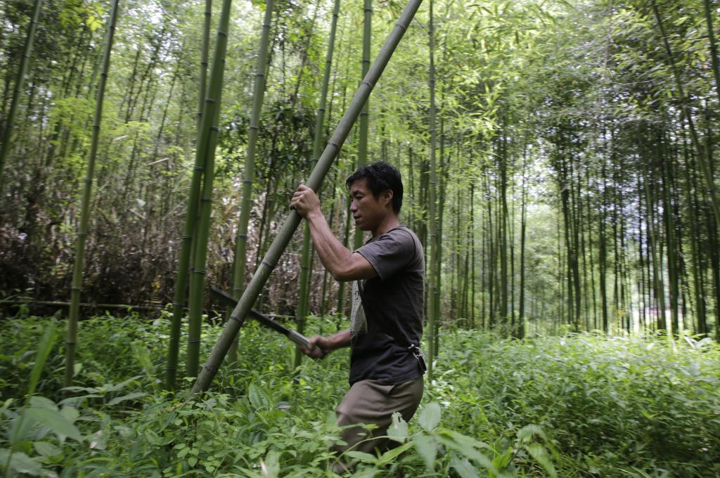 A man cuts bamboo stems in a forest. Bamboo is used in construction of houses and for making handicrafts. Credit: Vikas Choudhary