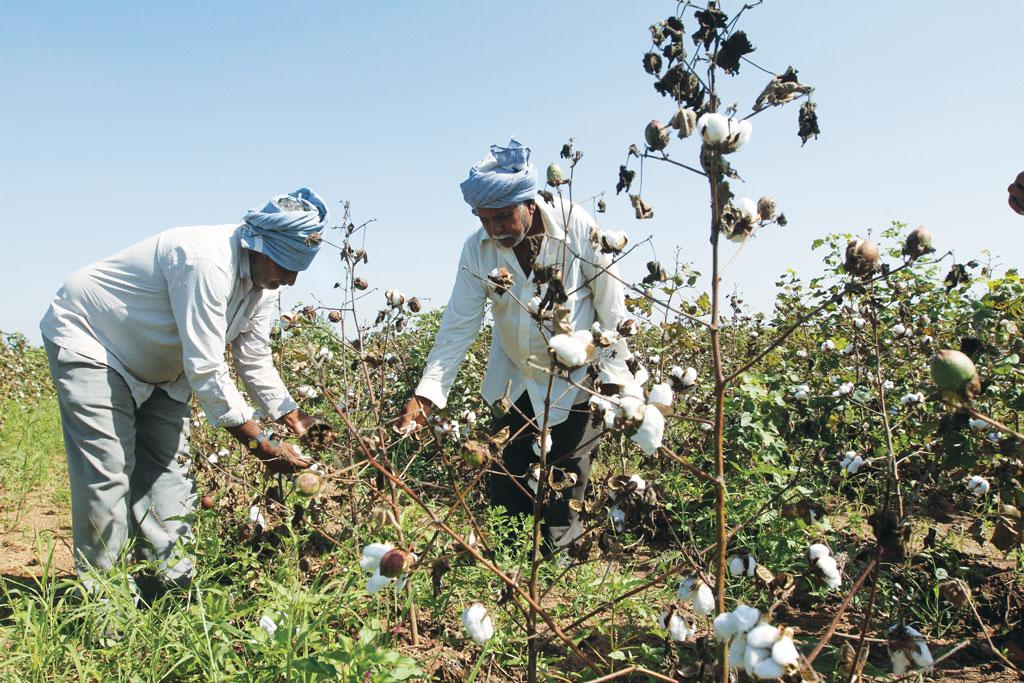 In Gujarat, the pink bollworm had put 25-100 per cent of the Bt cotton crop at risk by January 2016 (Photo: Nandan Dave)