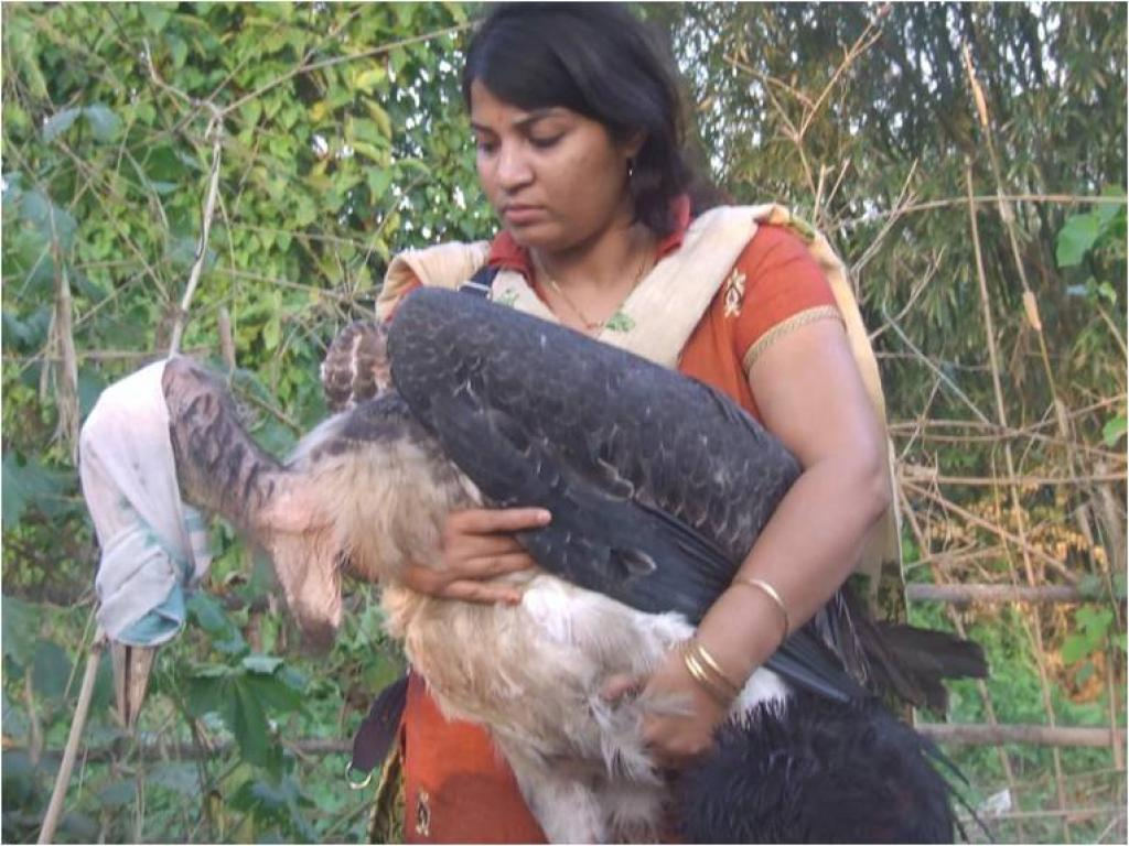 Purnima Barman rescuing a Greater Adjutant juvenile that has fallen out of its nest — something the birds unfortunately often do. Credit: Aaranyak
