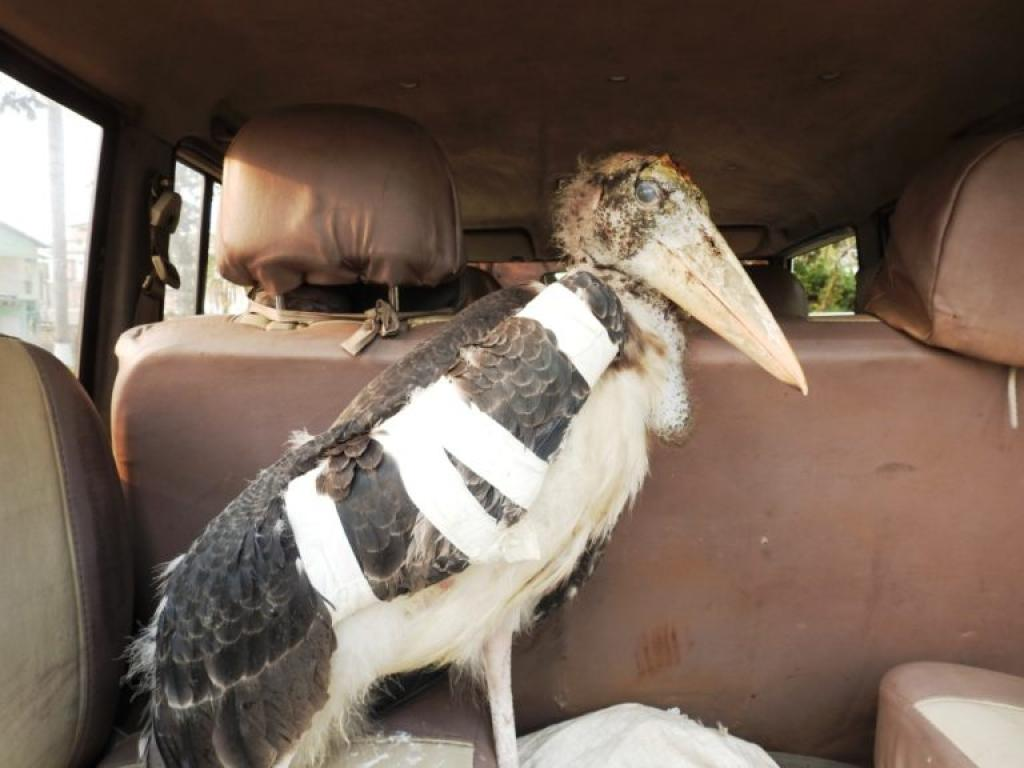 A Greater Adjutant Stork, which had fallen from a tree, was rescued and given preliminary medical treatment. Credit: Purnima Barman