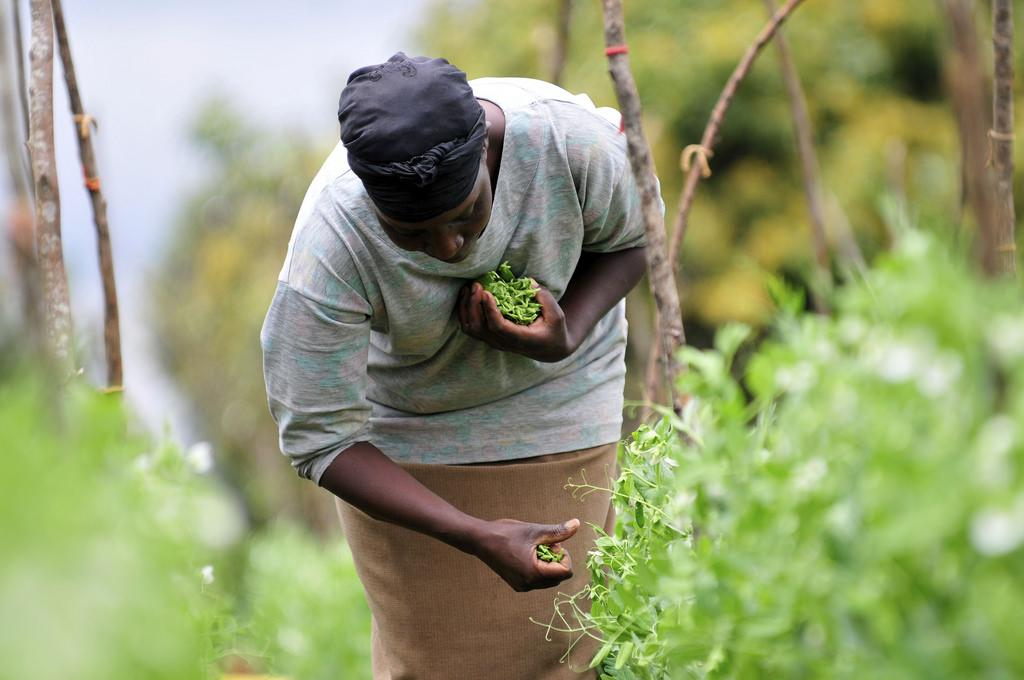 As climate patterns shift, crops in 'high' and 'extreme risk' countries are likely to suffer more variable yields. Credit: CIAT / Flicker