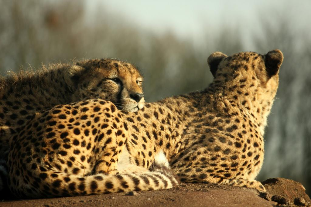 What makes matters worse is the fact that 77 per cent of the cheetah's habitat falls outside of protected areas. Credit: Henry Bush / Flicker