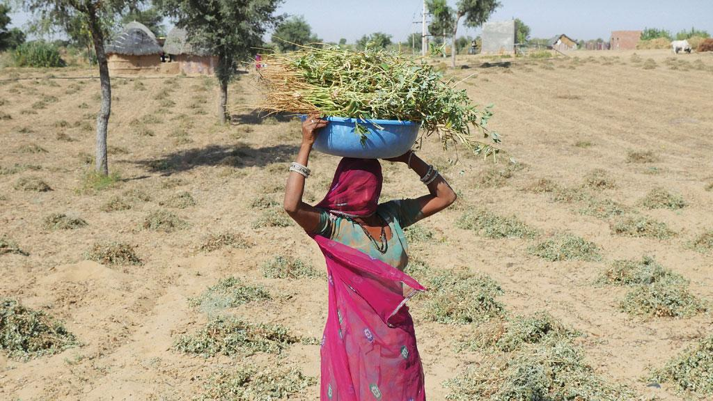 A woman carries guar plants at a farm in Godaro ki Dhani. Guar is a popular vegetable in Rajasthan