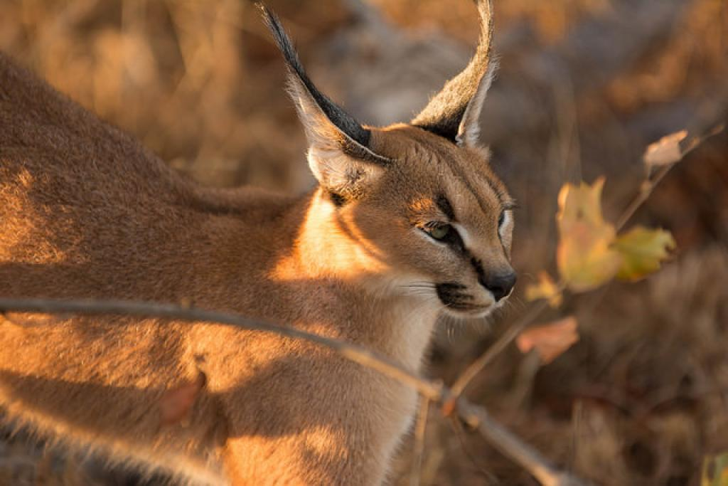 Caracals are a rare species of cat protected under Schedule I of Wildlife (Protection) Act, 1972. Credit: Peter Mackenzie / Flicker