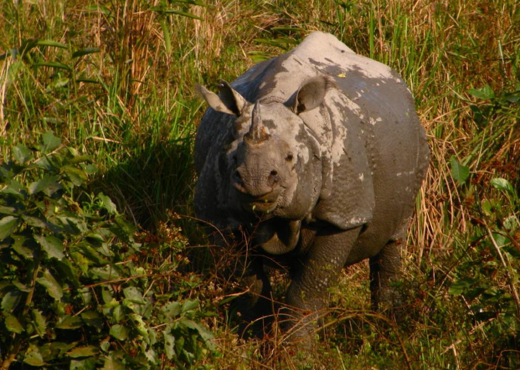 Despite the challenges facing rhinos in Kaziranga National Park, experts are optimistic about the species' future (Satish Krishnamurthy/Flickr/CC BY-SA 2)