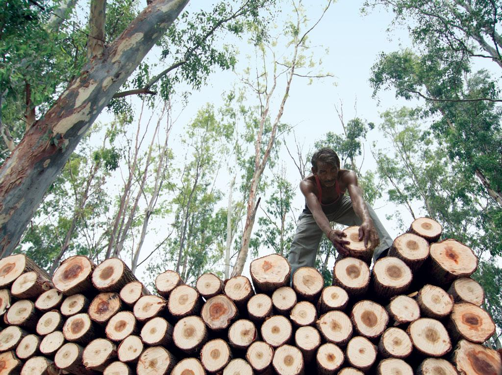 Eucalyptus is the most popular pulpwood grown by forest development corporations because it grows quite fast