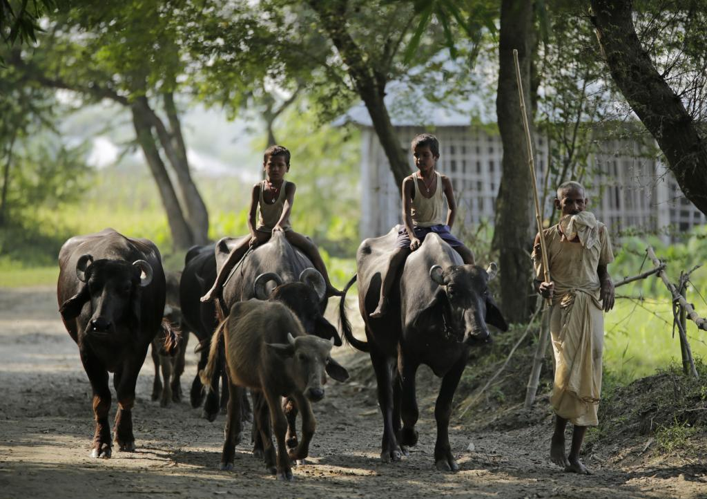 Cattle rearing, along farming and fishing, is the backbone of rural economy in north-eastern Bihar. Credit: Vikas Choudhary