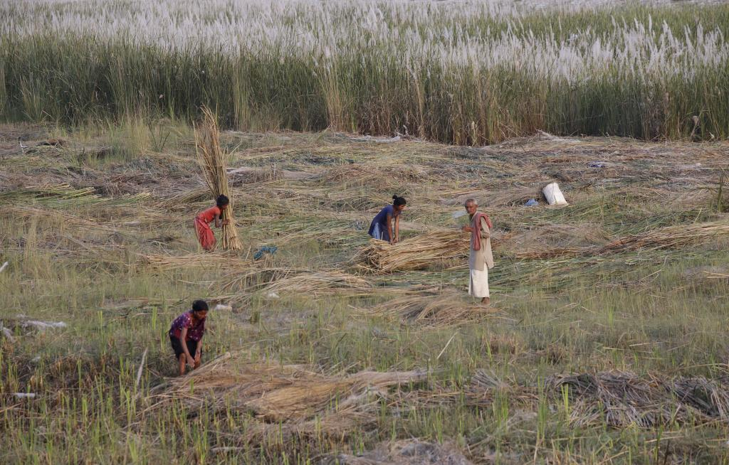 People collect wild sugarcane (kans) in Supaul district. It grows abundantly on the dry riverbed and flood plain. Credit: Vikas Choudhary