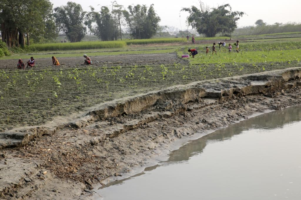 Since the Kosi carries high sediment load, it is constantly eroding its banks. It keeps devouring the fields along with the crops. Paddy is the most common crop. Credit: Vikas Choudhary