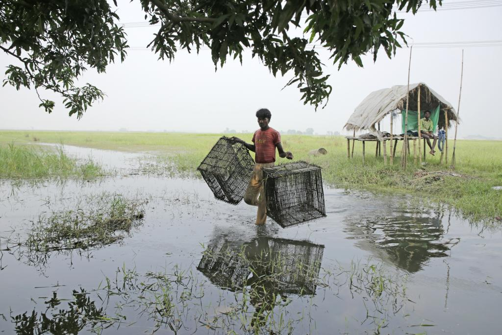 A man carries bamboo baskets to a pond for catching fish. These baskets are designed in such a way that fish can enter them but not exit. Fishing is an important economic activity, but it is hampered by disappearing ponds and extensive waterlogging. Credit: Vikas Choudhary
