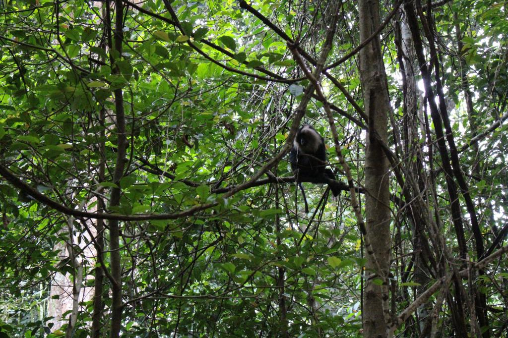 "A Lion Tailed Macaque perches on the branch of a tree. It is a primate classified as ""endangered"" by the International Union for Conservation of Nature. The animal had become the mascot of the Save Silent Valley movement in the 1970s and 80s, with protestors arguing that a hydropower project would destroy its habitat and severely diminish the primate's numbers Credit: Jemima Rohekar"