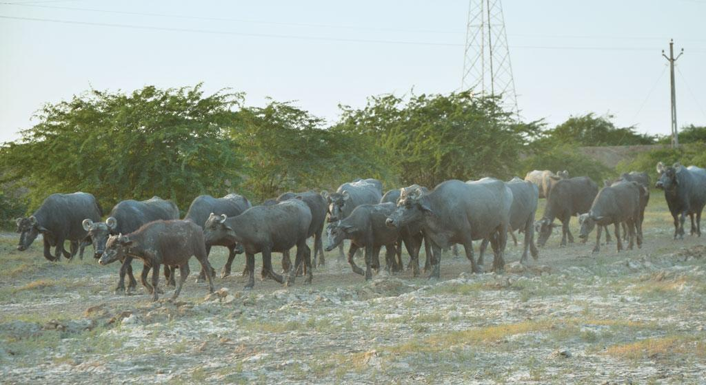 A Banni buffalo produces 14-16 litres of milk each day. They are unique because they are night grazers and have typical coiled horns