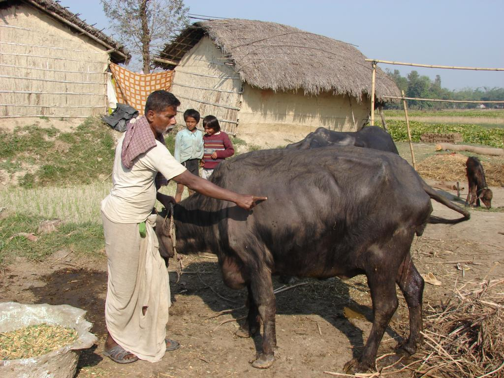 Over 20 per cent of the total meat produced in India comes from buffaloes (Credit: Sujit Kumar Singh/CSE)