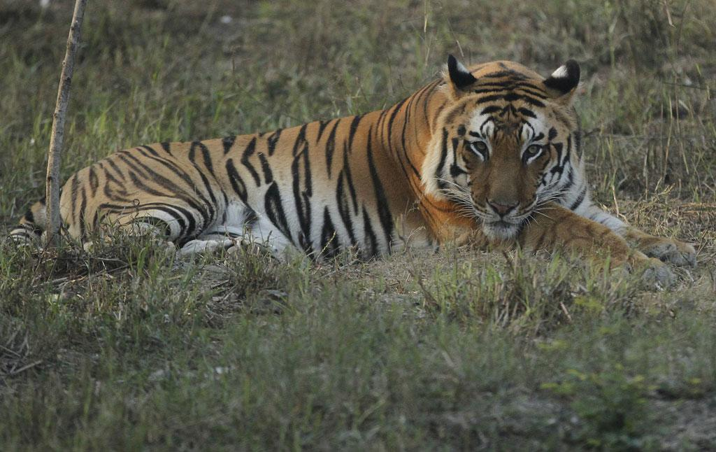 Royal Bengal Tigers are endangered, with the population of  2,500 in India (Credit: Vikas Choudhary)