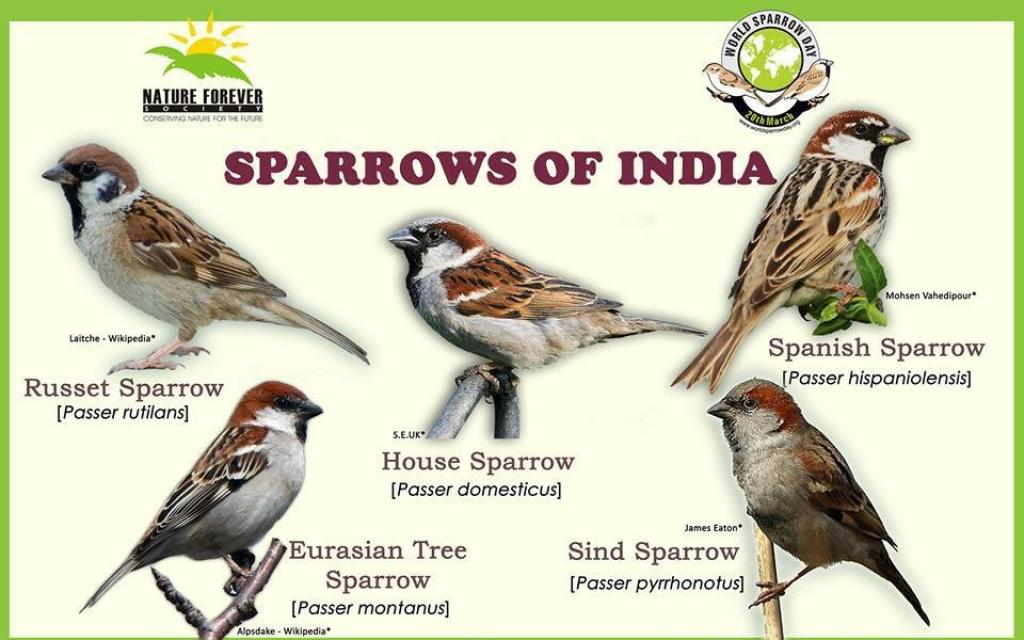 One of the posters created by the Nature Forever Society to help people identify sparrows during the Great Sparrow Count initiative. Credit: Nature Forever Society