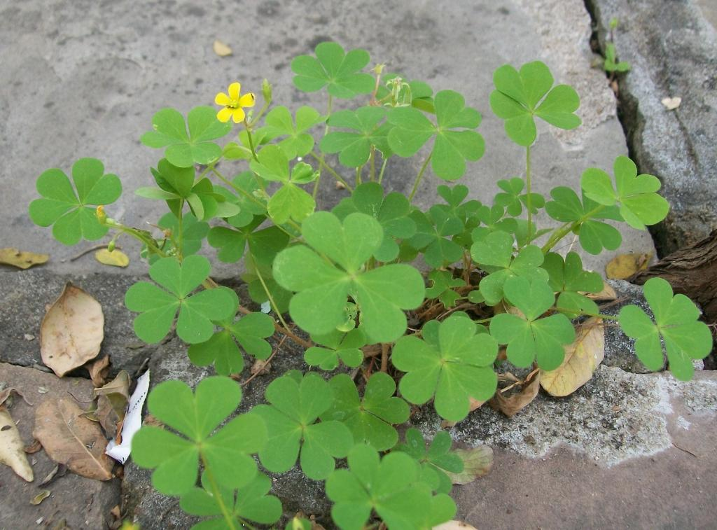 The trifoliate heart-shaped leaves with a tiny yellow flower make it easy to identify. Credit: Chandra Prasad Kala
