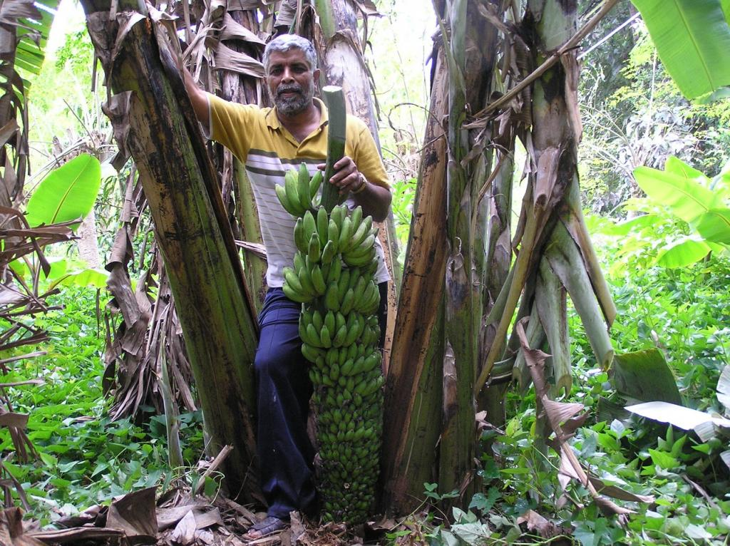 His farm now has a total of about 3069 trees, including mango, banana, papaya and a wide number of herbs. Credit: M K Kailash Murthy