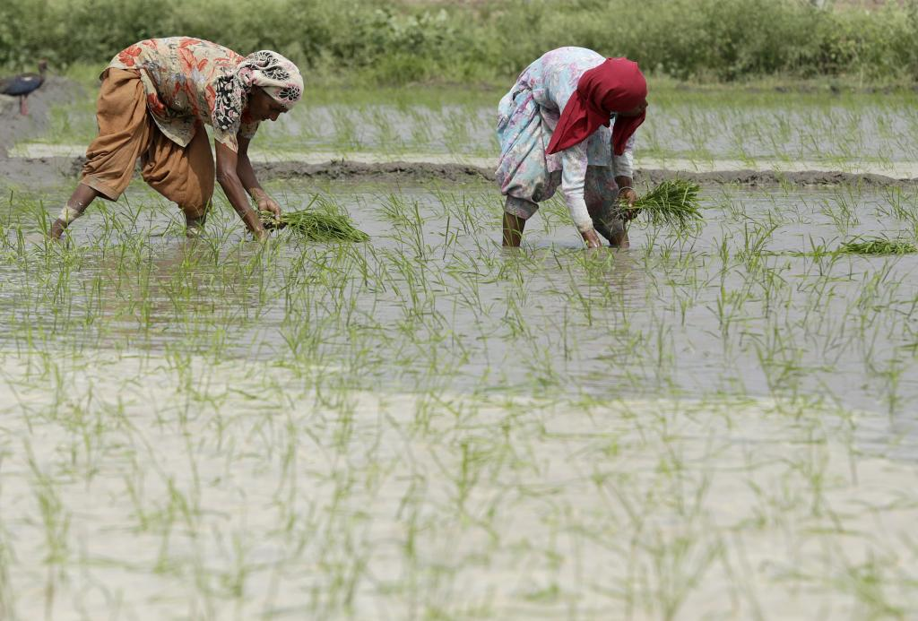 Rice farmers are among those most vulnerable to climate change Credit: Vikas Choudhary