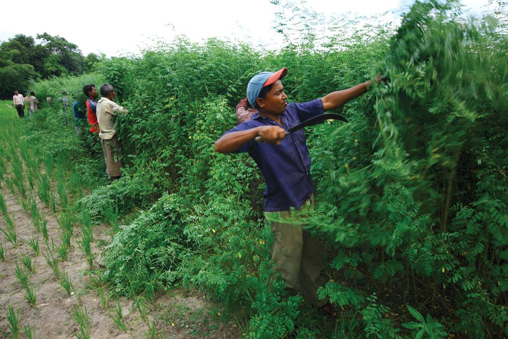 Indigo can be harvested three times a year and does not require too much fertiliser (Source: Living Blue)
