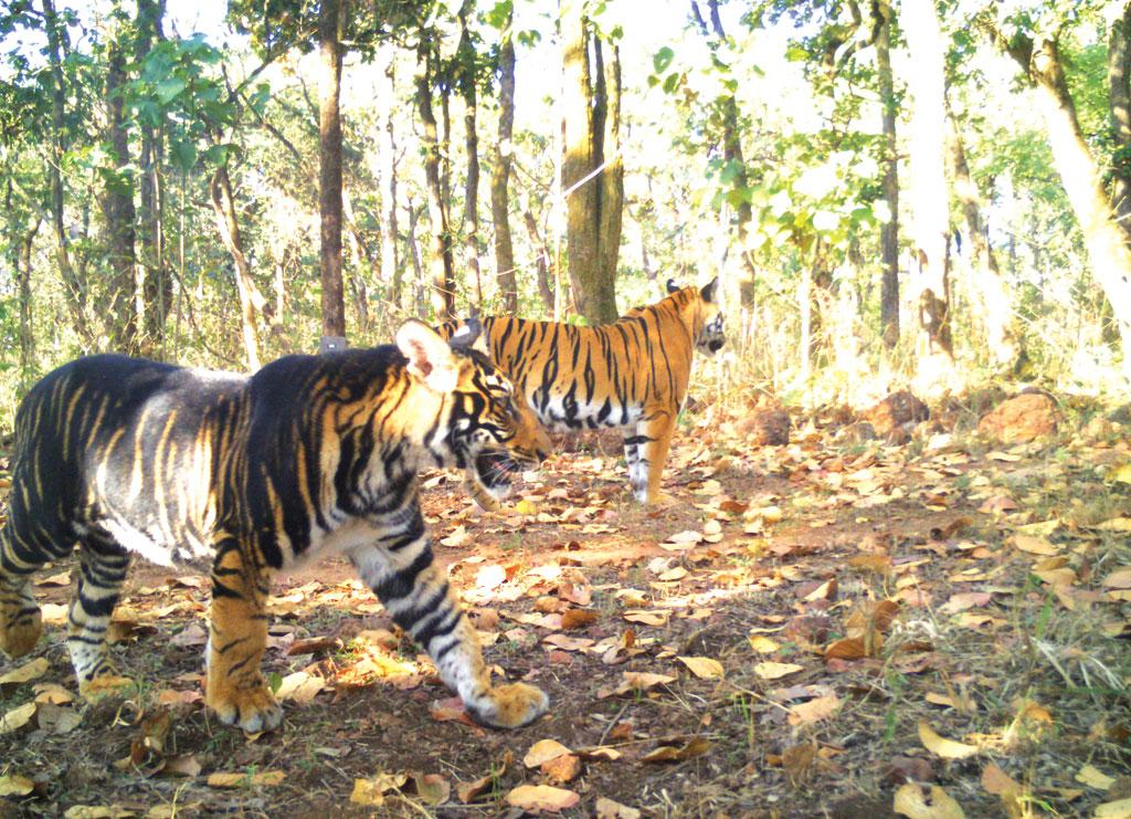 A melanistic tiger