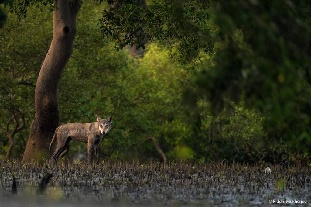 The adult male photographed by Riddhi Mukherjee in Jyotirampur in the buffer zone of the Sundarbans National Park Credit: Riddhi Mukherjee