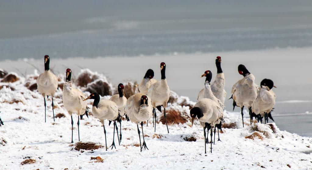 Changing land use patterns, coupled with a boom in the tourism industry, are posing a serious threat to the black-necked cranes (Photo: Pankaj Chandan)