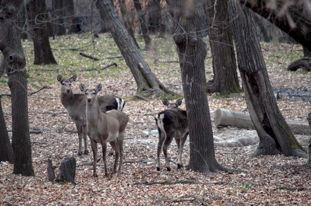 Hangul is the state animal of Jammu and Kashmir and the only surviving subspecies of the red deer family in the Indian subcontinent (Photo: WILDLIFE SOS)